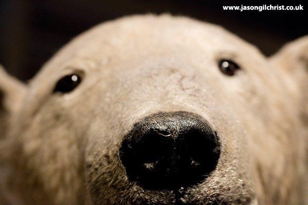 Polar bear, Ursus maritimus, at the National Museum of Scotland