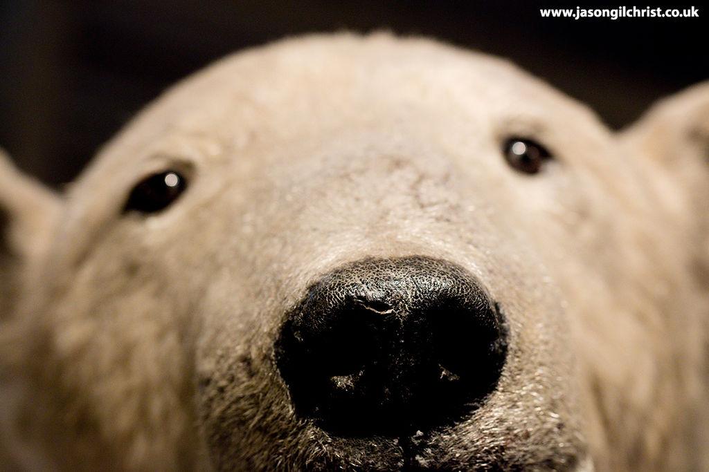 Polar bear, Ursus arctos, National Museum of Scotland