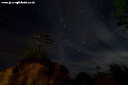 Quiver trees (Kokerboom) against night sky at Augrabies