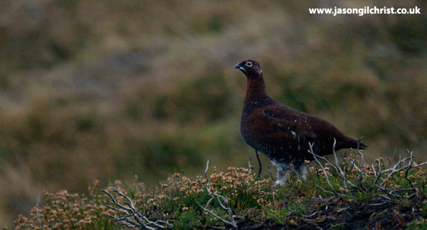 Scottish Red Grouse
