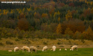 Autumn Pines and Sheep