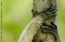 Hanging on: sifaka hands