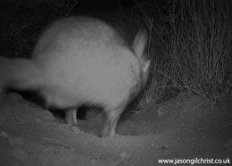 Springhare, Pedetes capensis, at night, camera trap