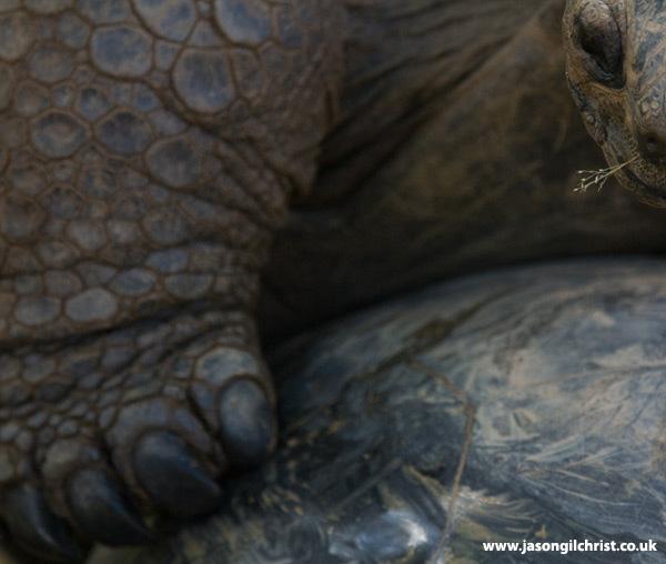 The Ancient: Aldabra giant tortoise (Dipsochelys dussumieri)