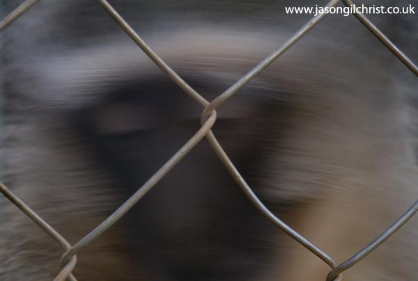 Vervet Monkey behind bars
