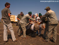White rhino capture