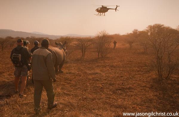 White Rhinoceros capture