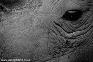 white rhino up-close II
