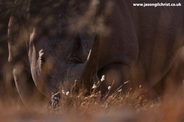 White rhino in the veld