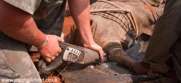 Horn removal (de-horning) of white rhinoceros