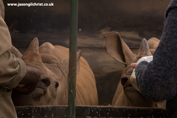 The Orphans: Hand-rearing white rhino calfs