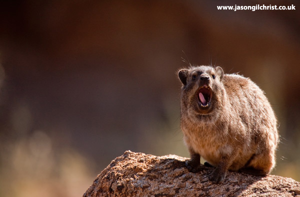 Yawning rock hyrax