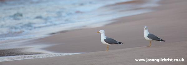 Larus michahellis on the beach