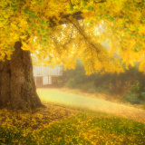 Ginko Tree in the morning mist