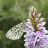 Green Veined White on Orchid