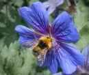Bee & geranium