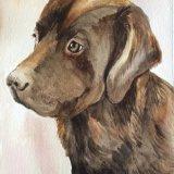 Frankie - chocolate Labrador