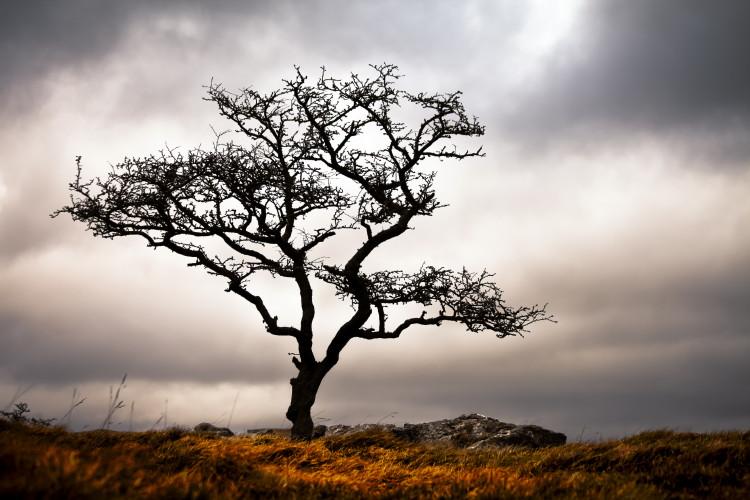 Lone Tree, Grassington Common