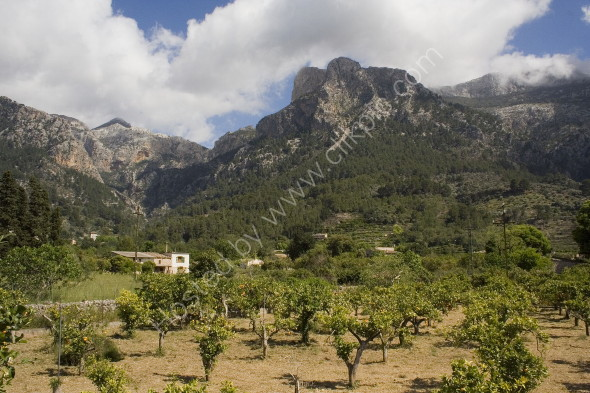 Orange groves under the mountains in Soller