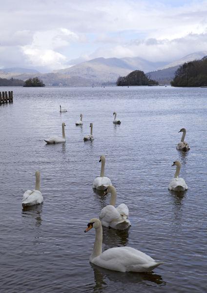 Lake Windermere Swans, Lake District