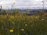 Barnoldswick Through Buttercups, Pendle, Lancs