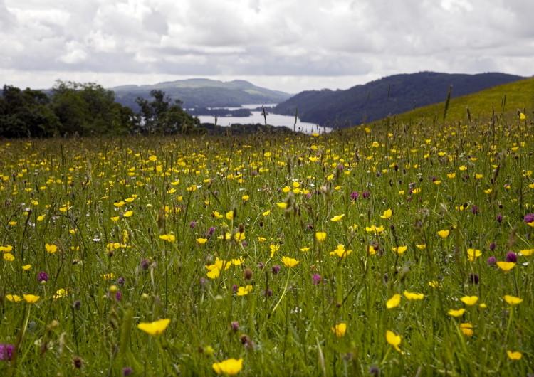 Wild Flower Field, Troutbeck