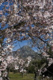 Almond blossom in orchards nr. Mt. Galatzo