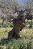 Typical Mallorcan Olive tree