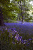 Bluebell Woods, Whalley, Lancs