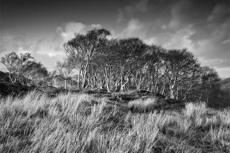 Birch Tree, Durninish, Wester Ross