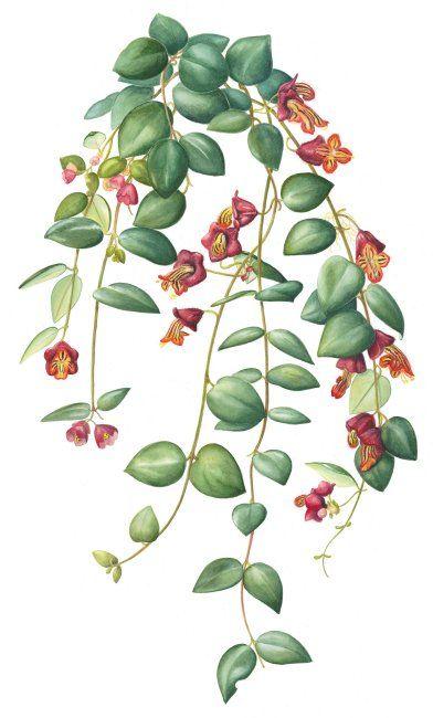 Aescynanthus Tricolour