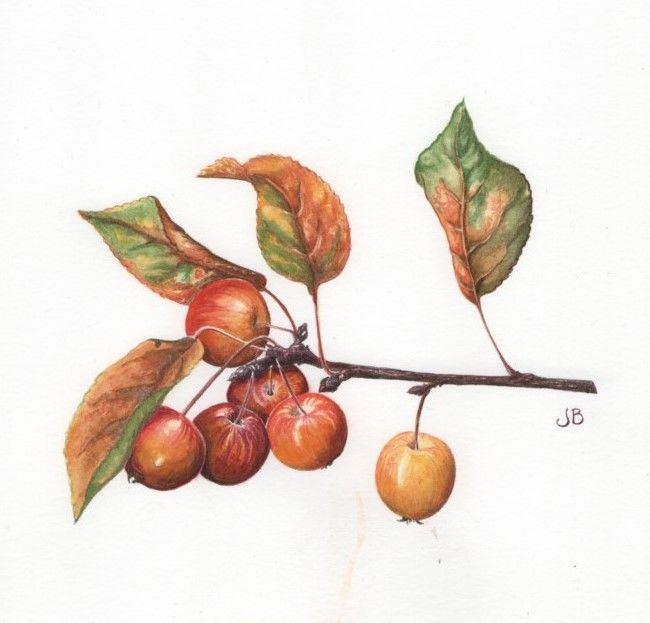 Crab Apples: SOLD