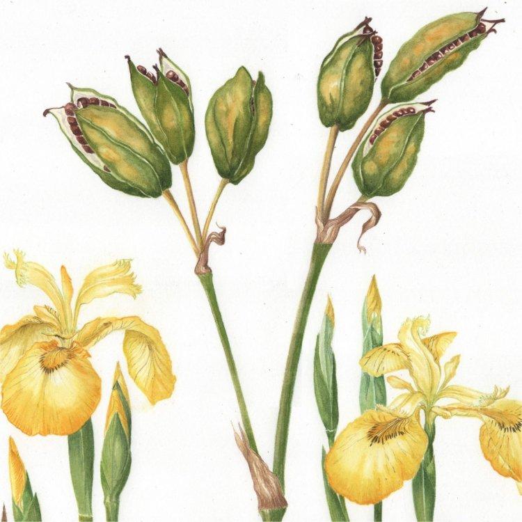 Flag Iris Detail