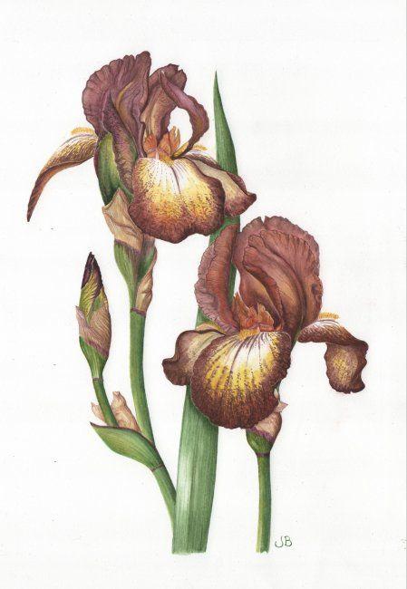 Brown bearded Iris