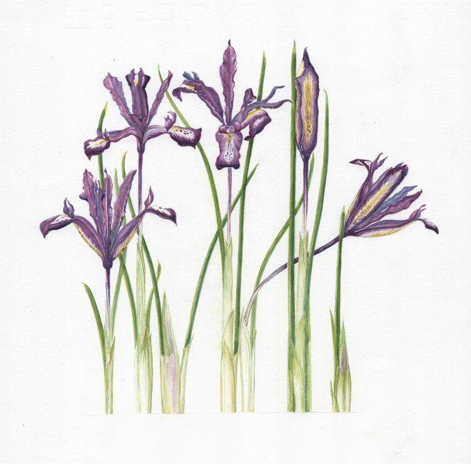 Minature Iris