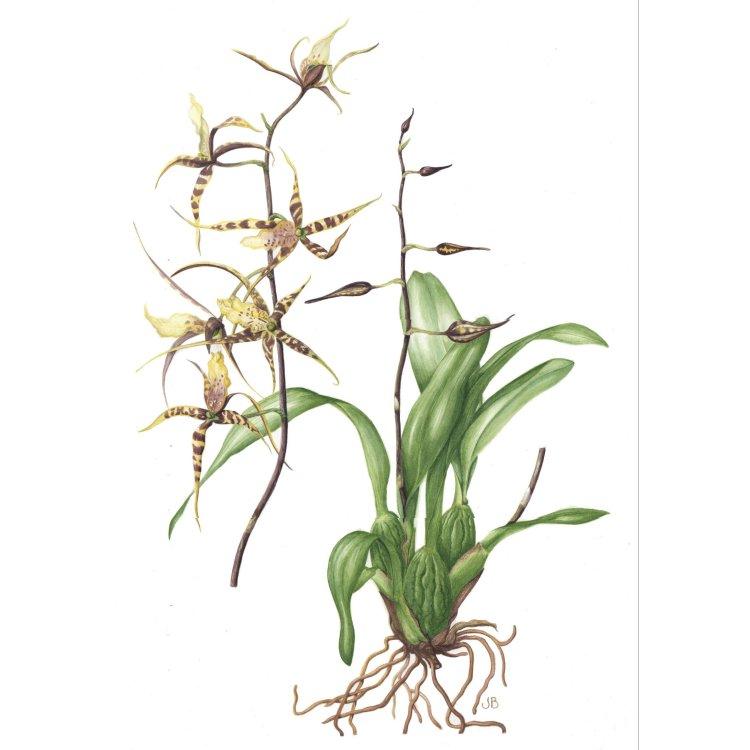 Brassia caudata