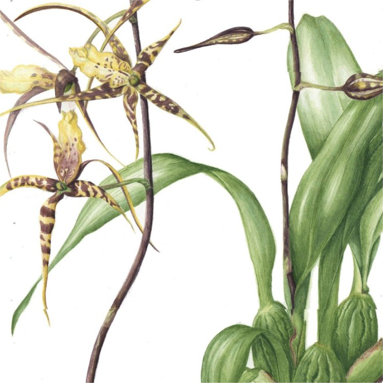 Spider orchid Detail