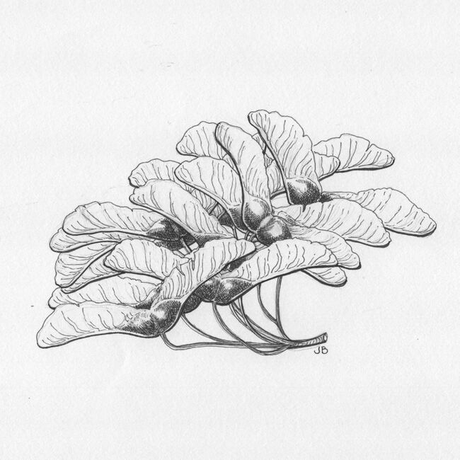 Sycamore Seeds (ink)