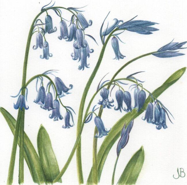 UK native bluebells