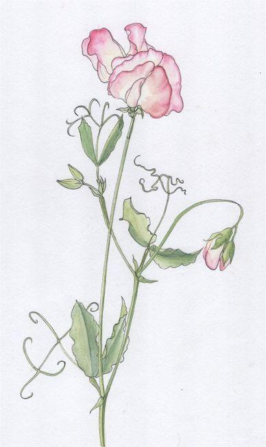 Pink Sweatpea