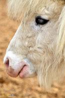 Shetland Pony Head