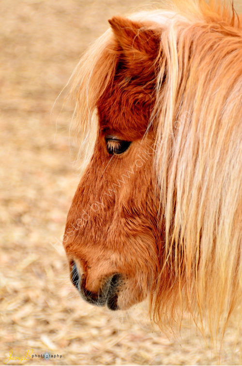 Head of Shetland  Pony