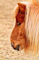 Head of Shetland  Pony