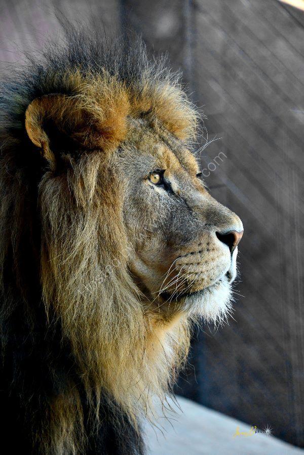 Lion Profile...