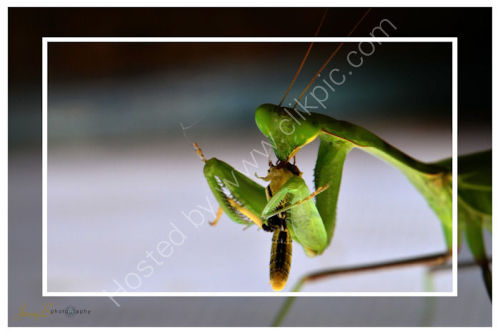 Tea Time for Praying Mantis