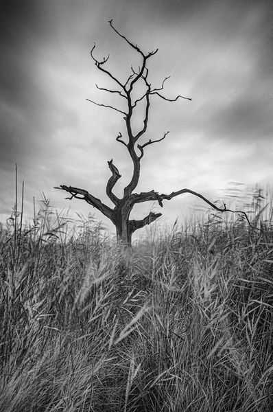 Lone tree in the marsh