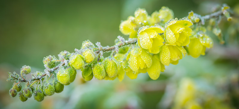 Dew and buds