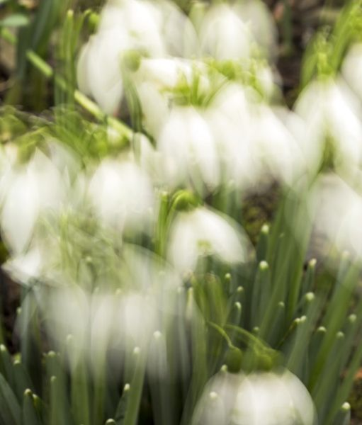 Snowdrops in slow motion