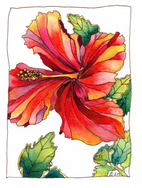 *Hibiscus