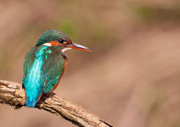 Female Kingfisher perched